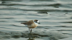 Regenpfeifer in der Walvis Bay