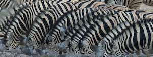 Zebras am Wasserloch