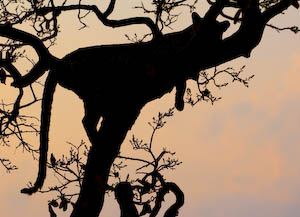 Silhouette eines Leoparden