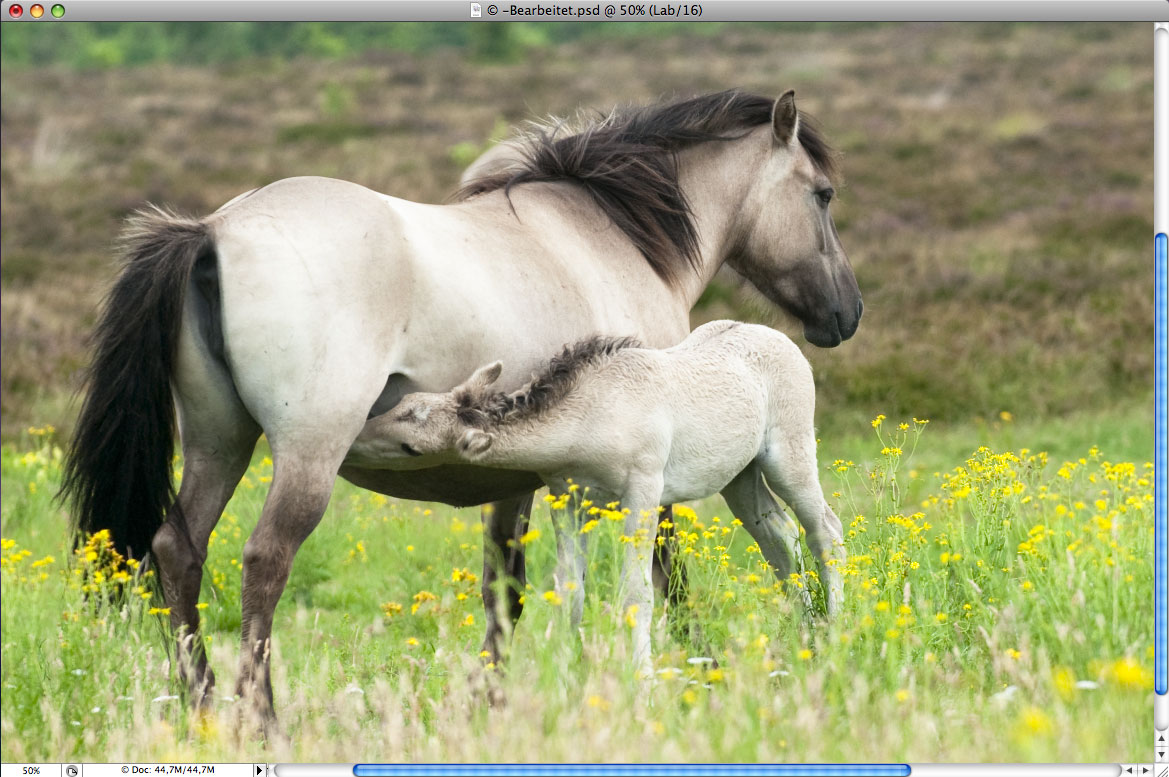 Konik Mutter und Fohlen in Photoshop bei 50%